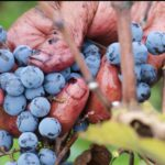 Bảo vệ tim mạch với rượu vang đỏ cao cấp