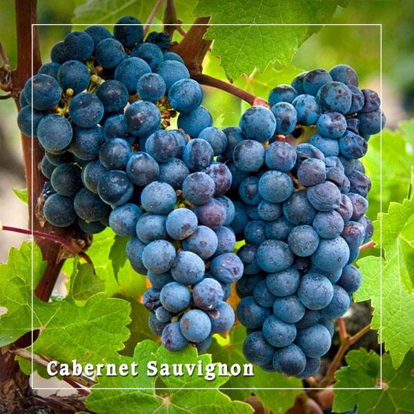 Quy trình thu hoạch nho và các giống nho làm nên rượu vang ngon nhất