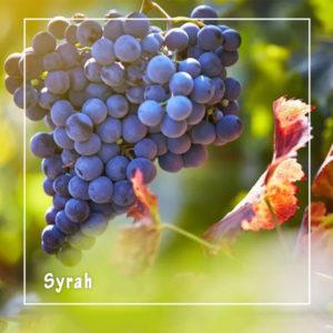 Top những loại nho tạo nên các chai rượu vang hảo hạng nhất