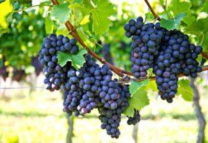 Tính năng ưu việt của 2 giống nho Shiraz và Sauvignon Blanc