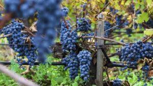 Nhâm nhi 1 ly Albarosa Moscato chống dịch covid – 19
