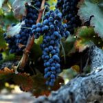 Tìm hiểu những điều chưa biết về rượu vang cùng rượu vang Minh Phương (P1)